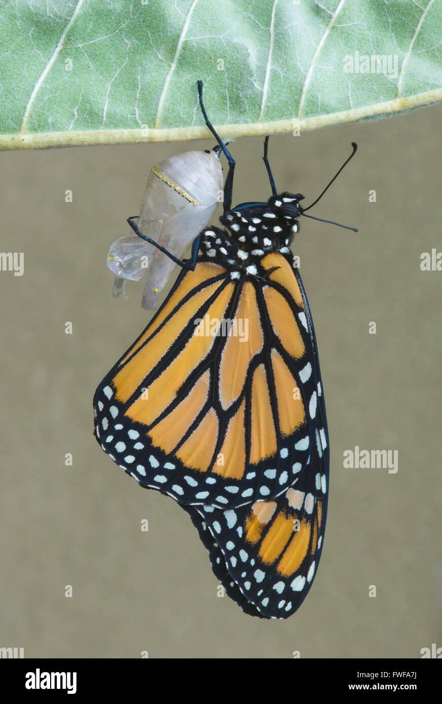 Monarchfalter Danaus Plexippus Erwachsenen entstanden nur von Chrysalis & Trocknung im Osten der USA Stockfoto