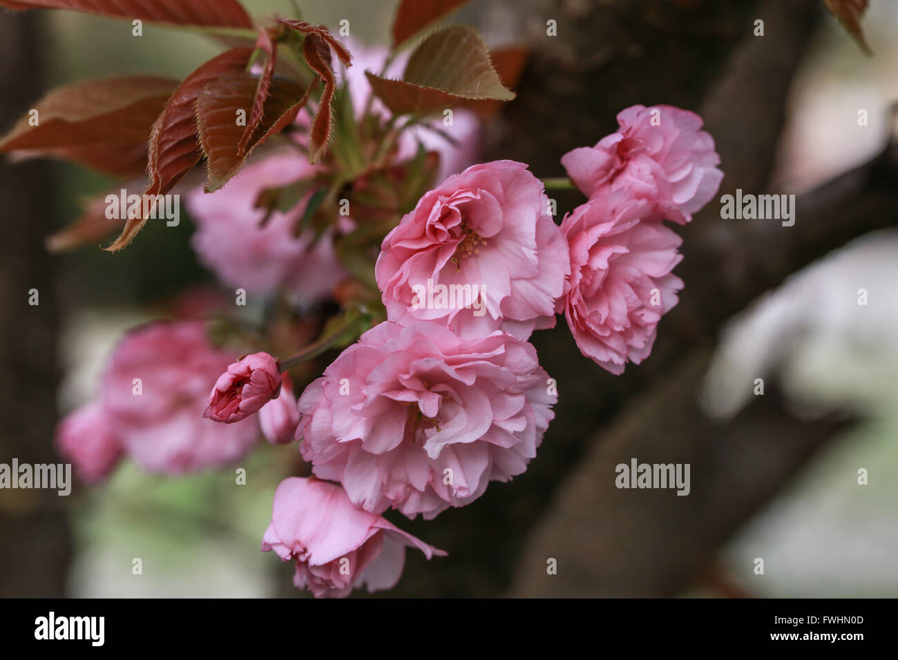 Prunus serrulata Stockfoto