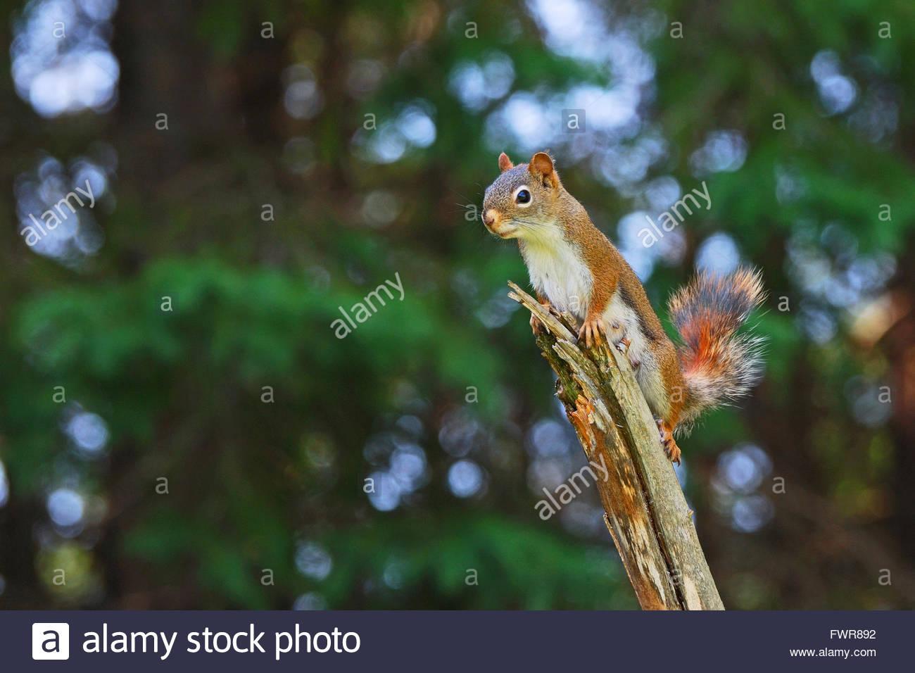 Wege, um eine weibliche Eichhörnchen zu machen
