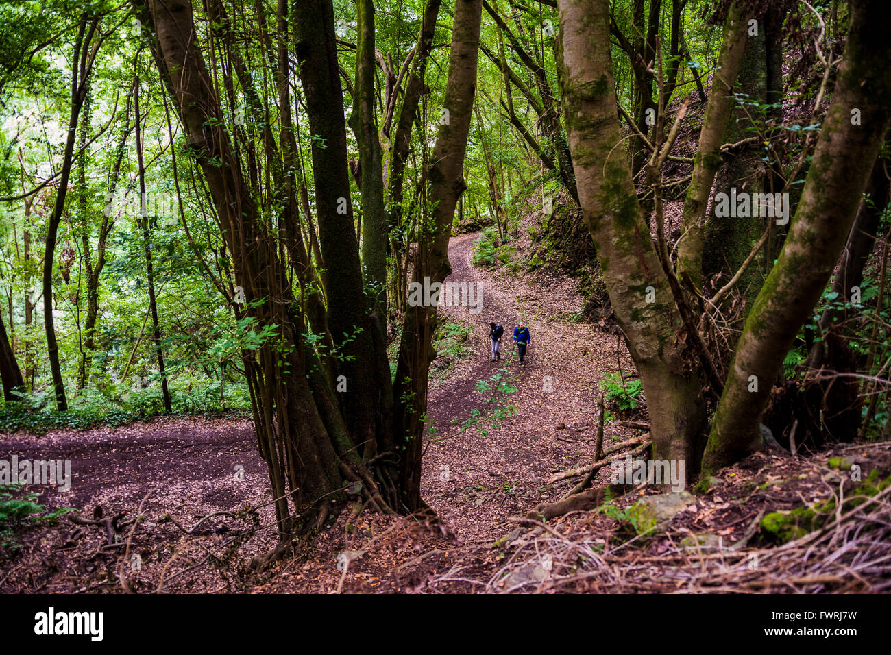 Wanderweg im Laurissilva-Wald. Los Tilos. San Andrés y Sauces, La Palma, Teneriffa, Kanarische Inseln, Spanien Stockbild