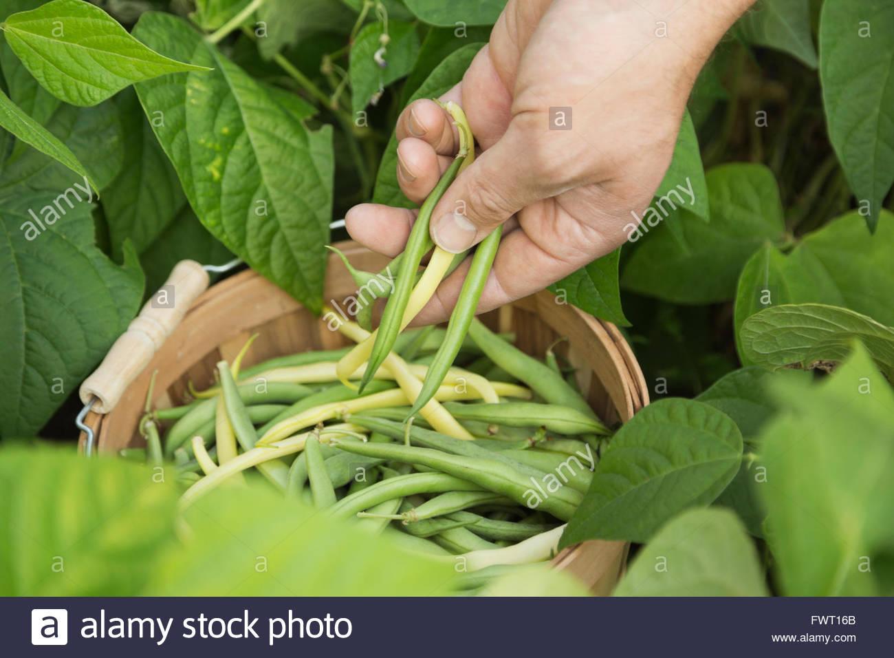 Frisch geerntete Bohnen Stockbild