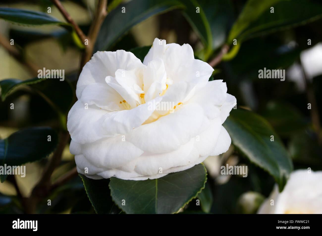 Gefüllte weiße Blüten des späten Winters blühen immergrünen Strauch, Camellia Japonica Stockbild