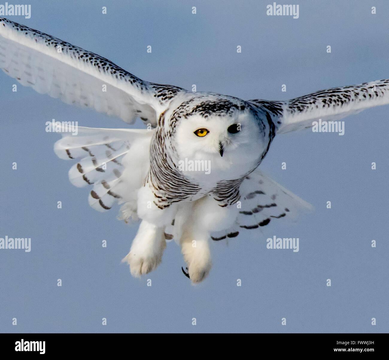 Schneeeulen sind atemberaubend schön im lautlosen Flug und in erbitterten Jagd Aktivität. Sie sind sehr Stockbild