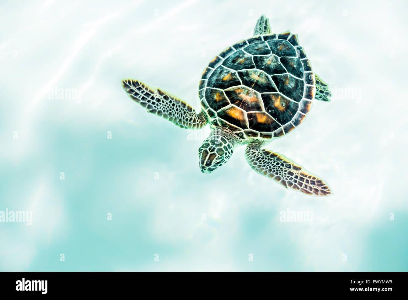 Nahaufnahme von niedlichen Baby-Schildkröte im türkisfarbenen Wasser ...