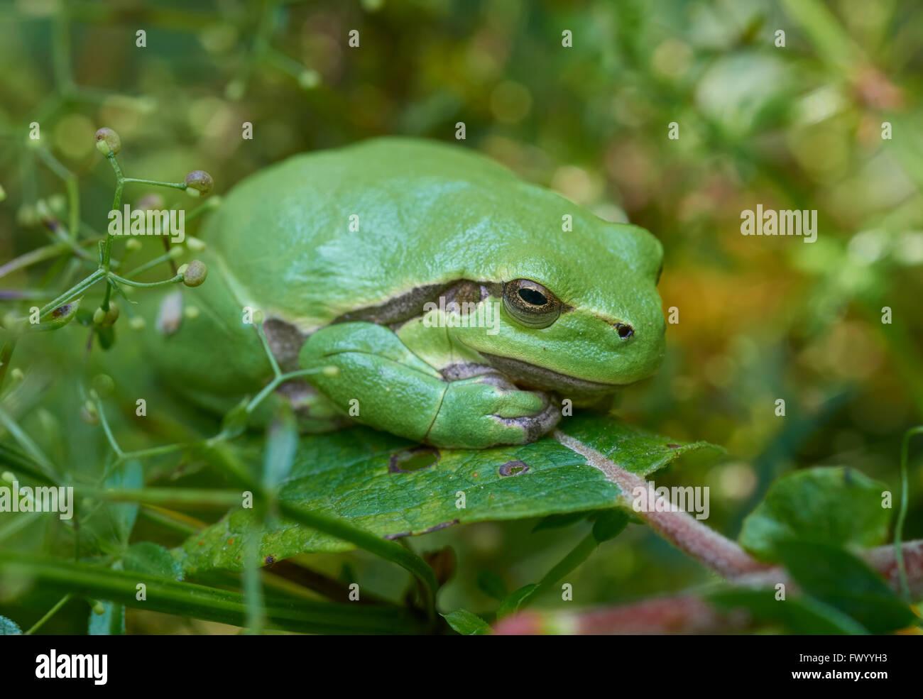 Nahaufnahme der Europäische Laubfrosch (Hyla Arborea) sitzt auf einem grünen Blatt Stockbild