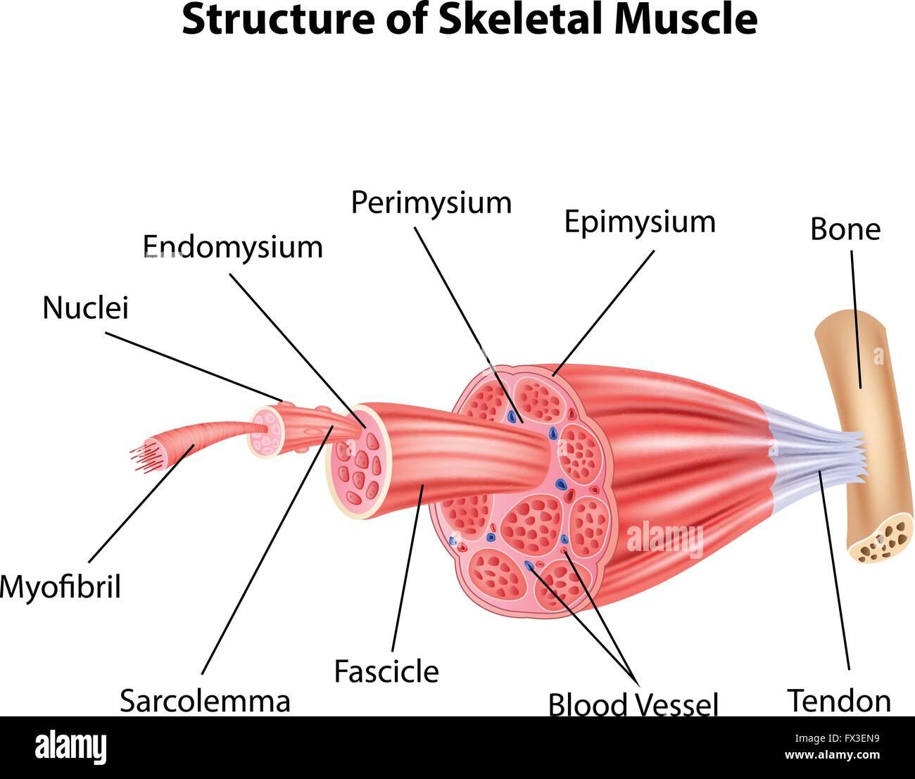 Skeletal Muscle Fiber Stockfotos & Skeletal Muscle Fiber Bilder - Alamy