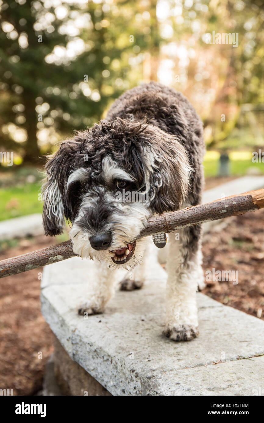 """Schnoodle Welpen """"Junho"""" spielen Schlepper mit einem Stock in seinem Hof in Issaquah, Washington, USA Stockbild"""