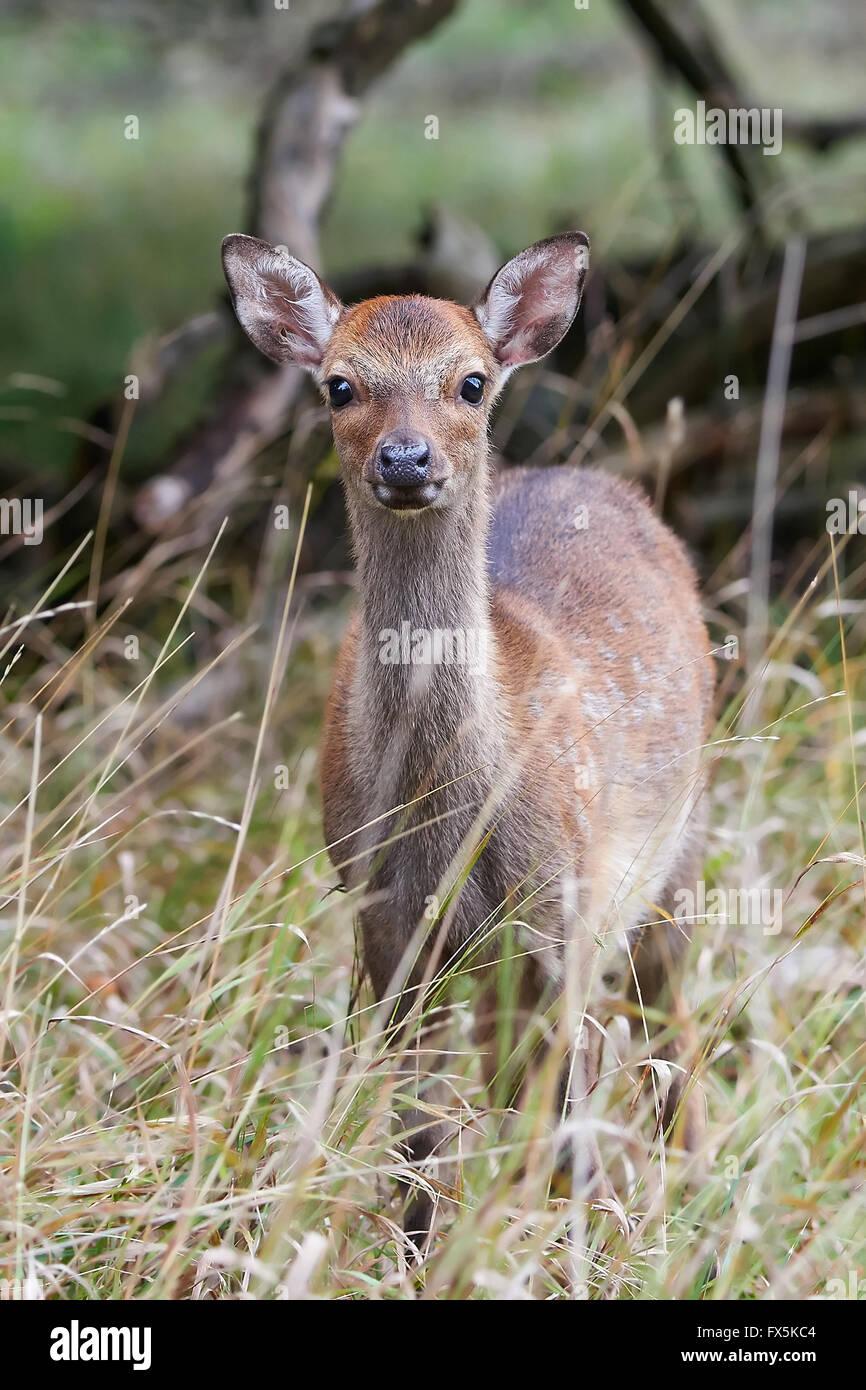 Juvenile Sika Hirsch versteckt in seinem natürlichen Lebensraum Stockbild