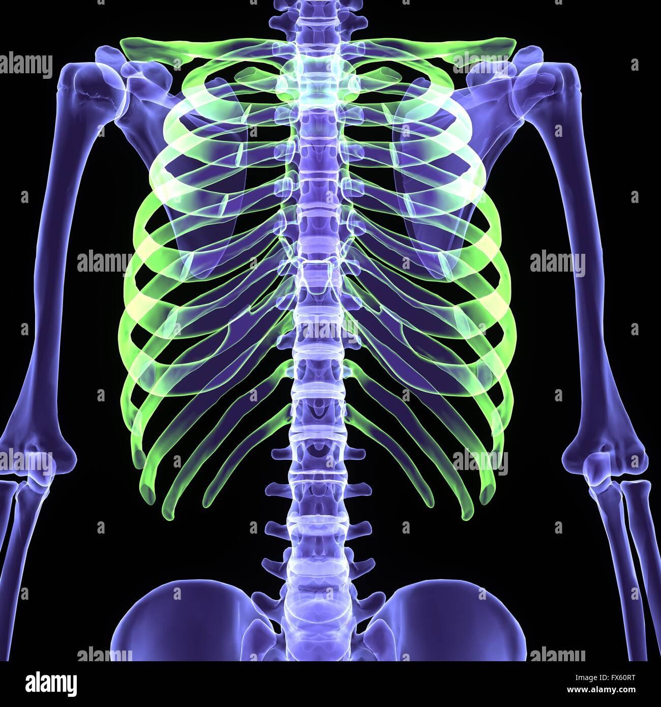 Röntgen Skelett Körper Stockfoto, Bild: 102165276 - Alamy