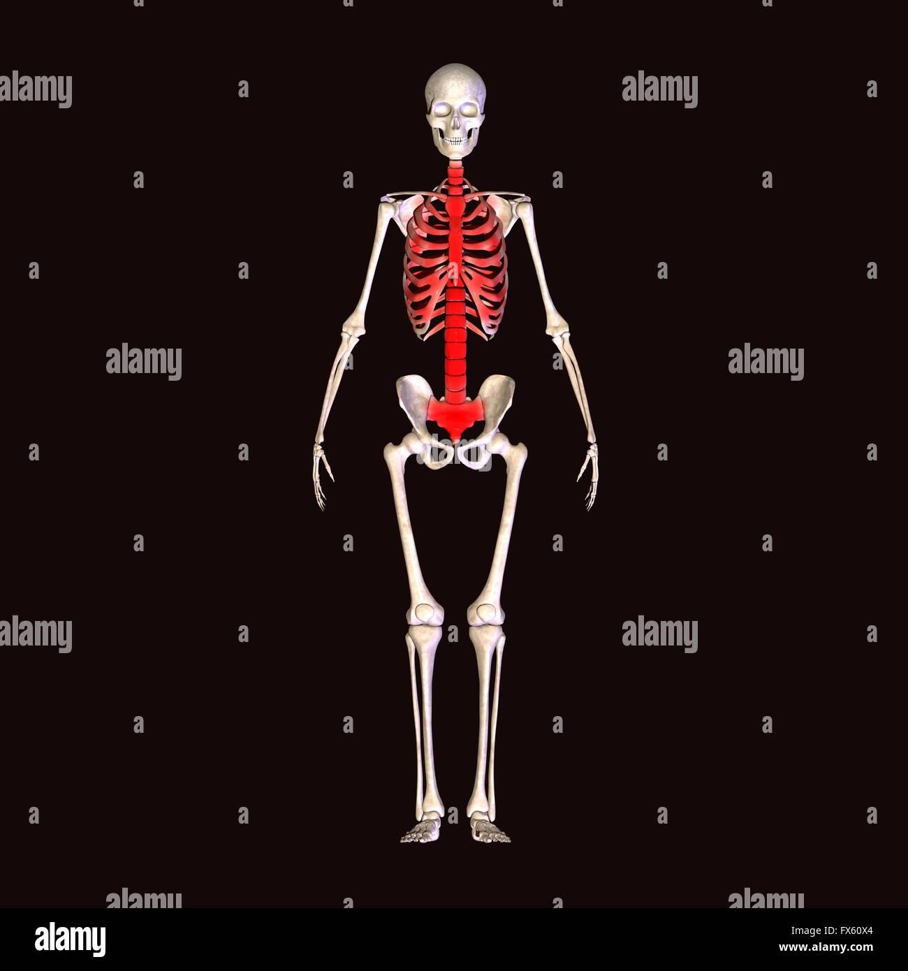 Körper, voll, Mensch, Skelett, Anatomie, Medizin, Strahl, 3d ...