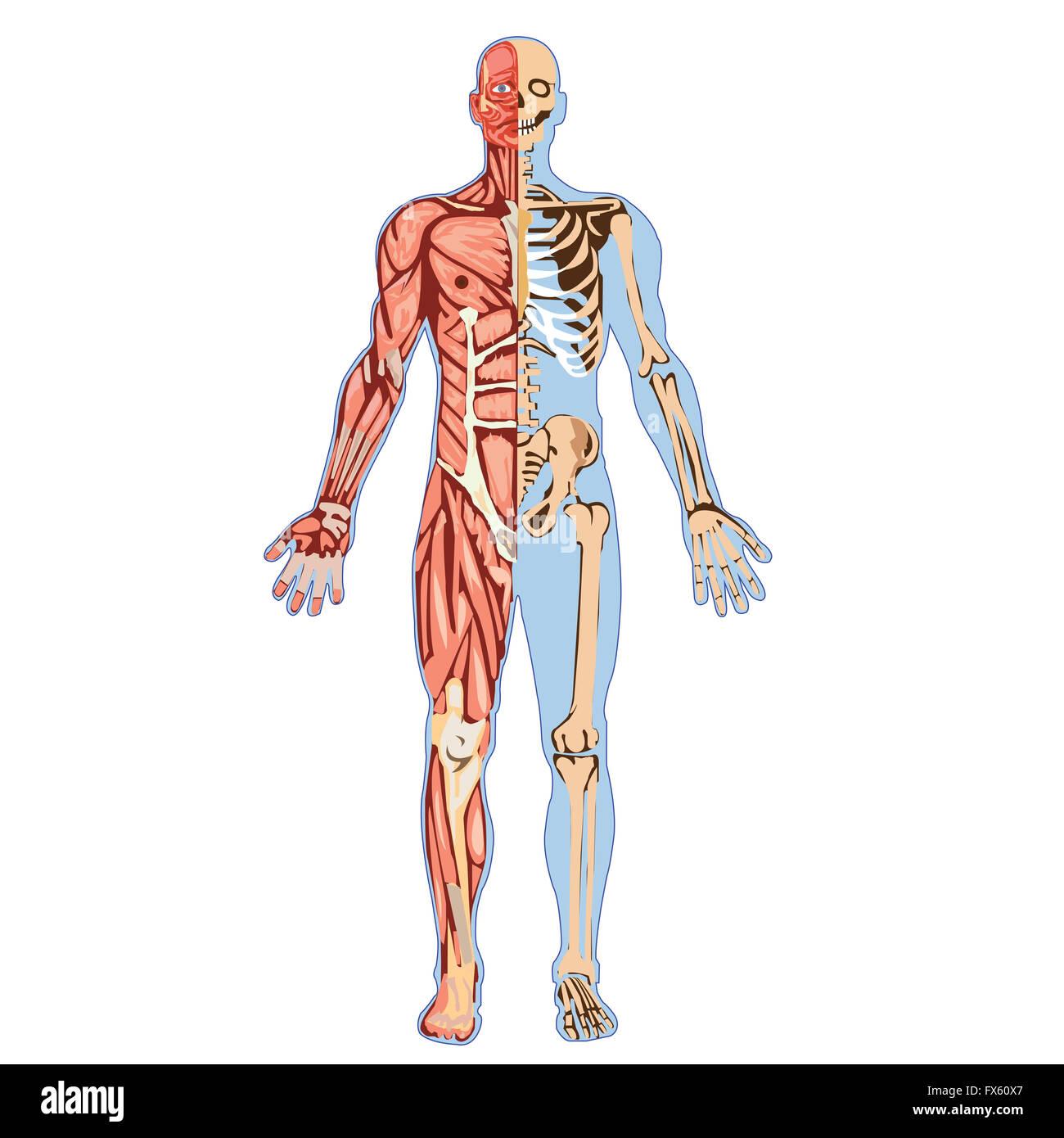 Anatomie des menschlichen Körpers Stockfoto, Bild: 102165343 - Alamy