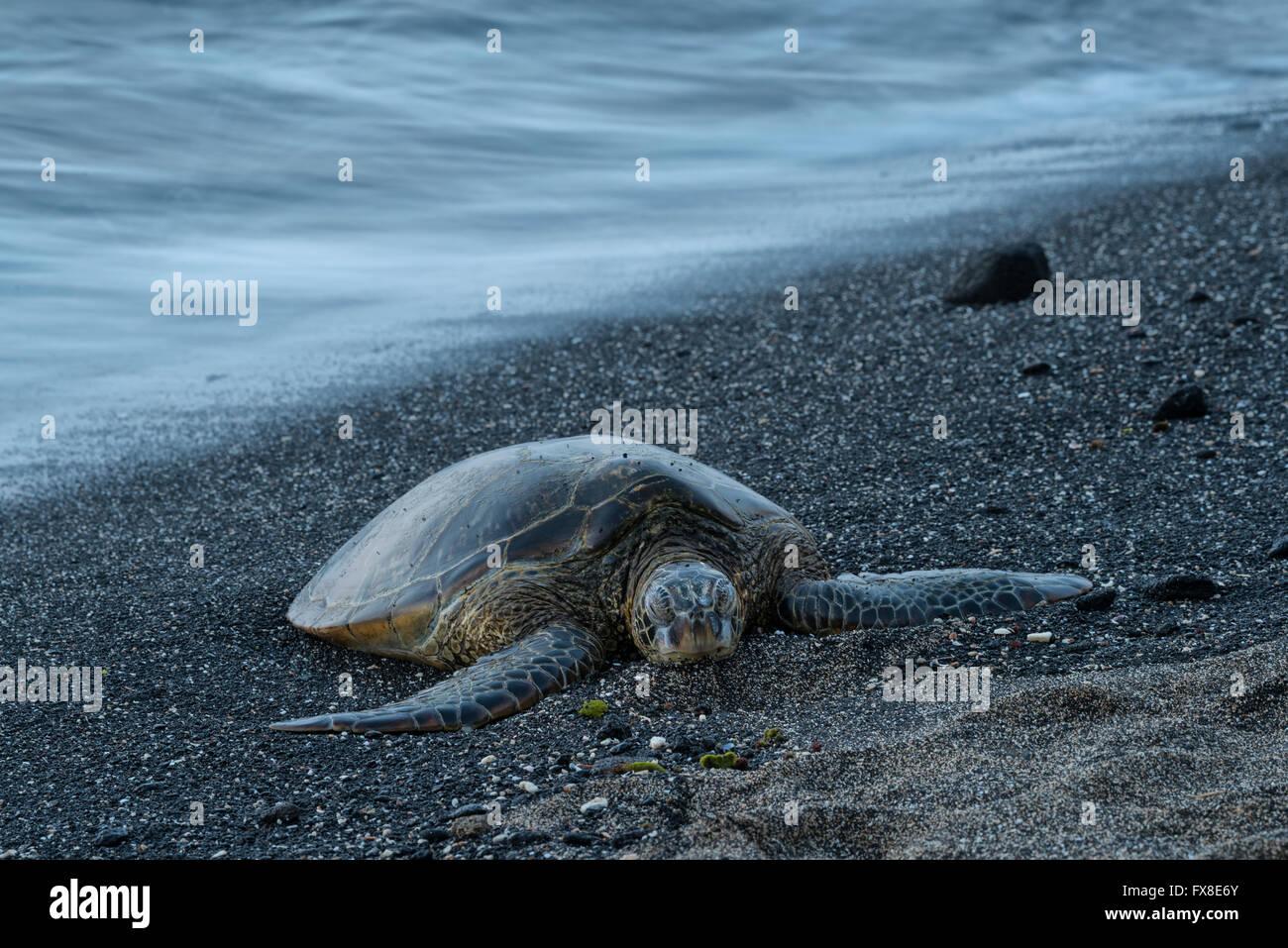 Kona, Big Island, Hawaii, USA Kaloko-Honokohau historischen Nationalpark, Meeresschildkröten am Strand, Stockfoto