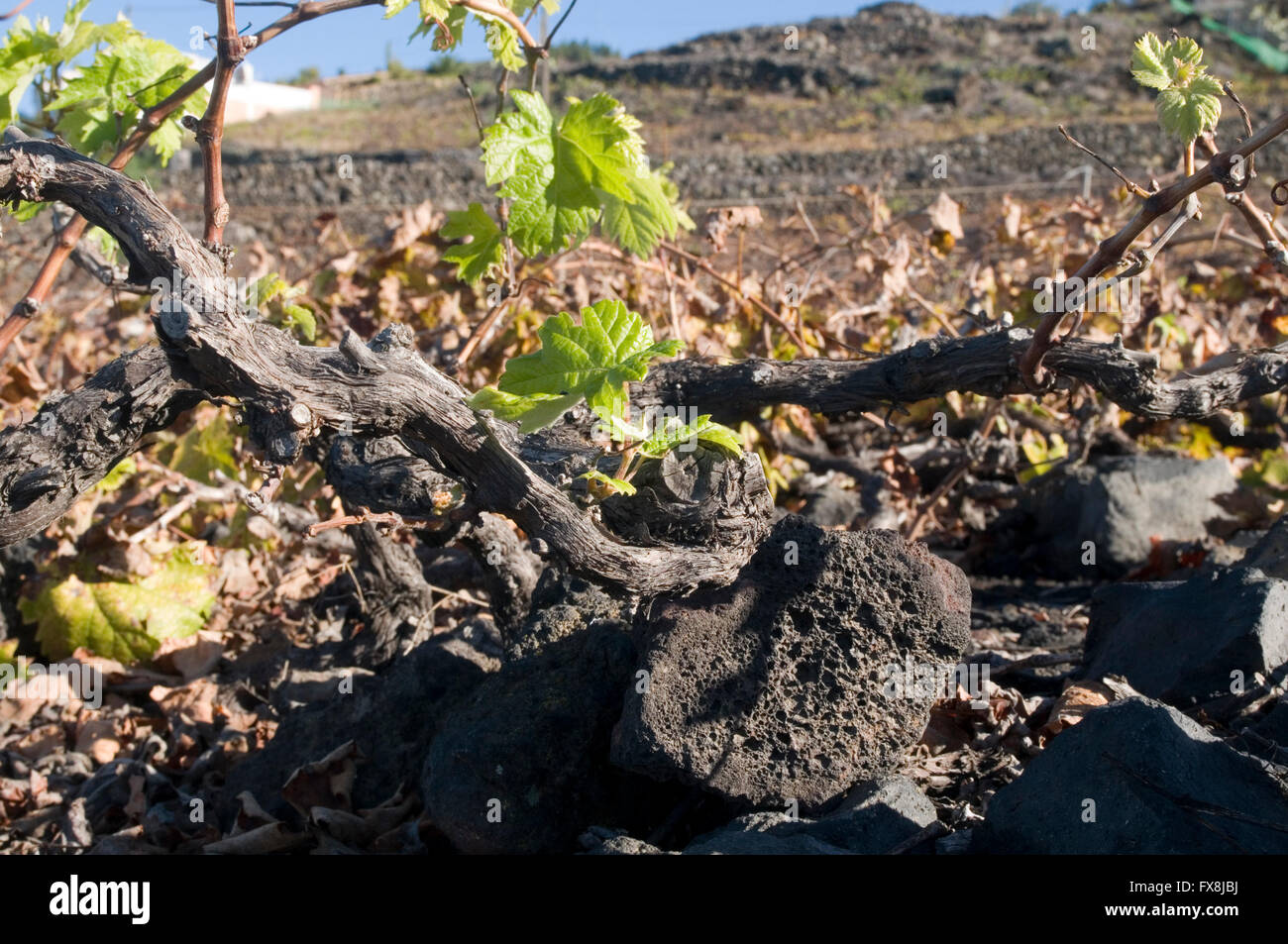 Traube Reben Weinrebe Weinstock Weinreben Weinberg Weinberge Kanaren Insel Kanaren Insel Inseln kurz auf einem Hügel Stockbild