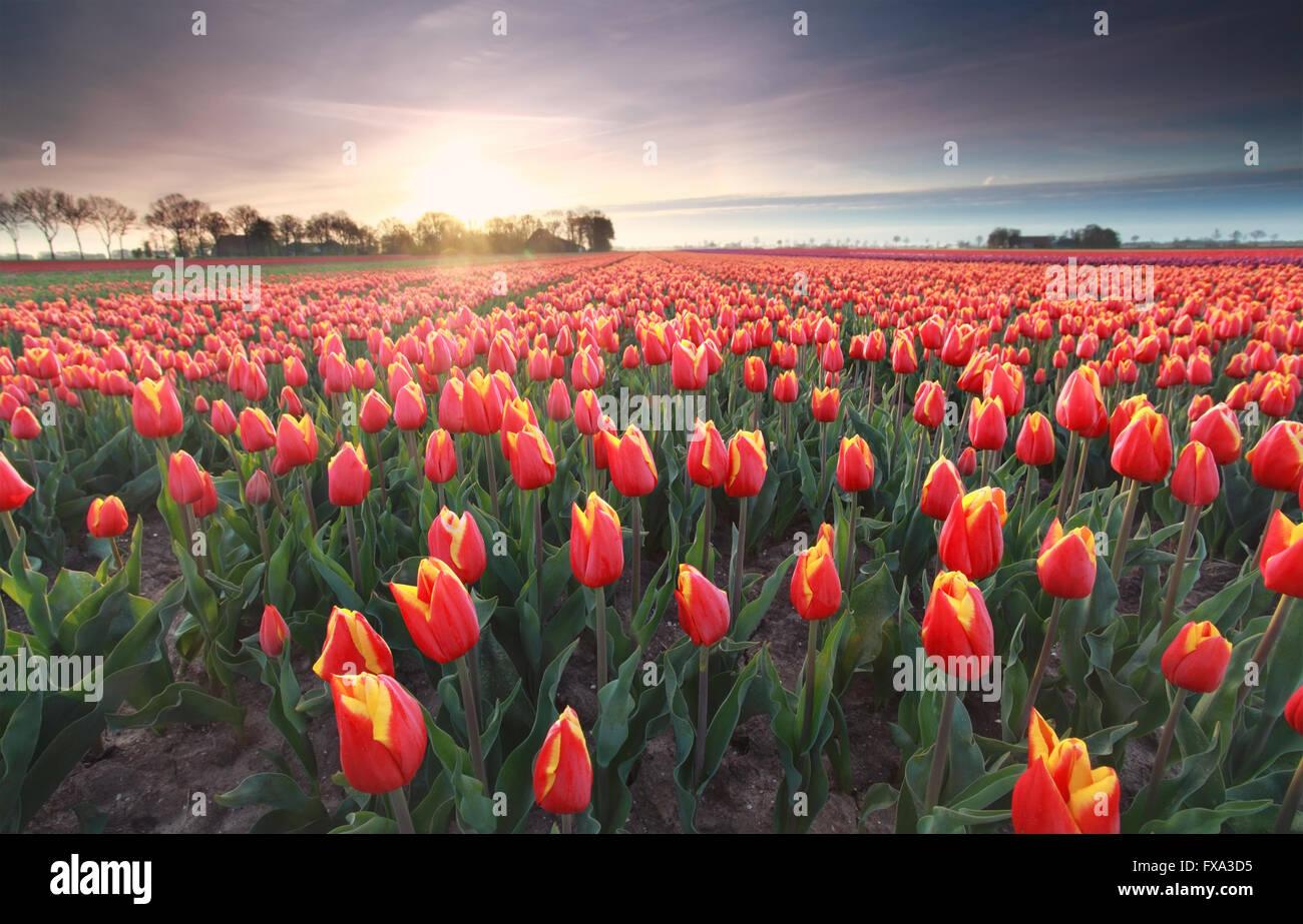 Rote Tulpen Feld bei Sonnenaufgang, Flevoland, Niederlande Stockbild