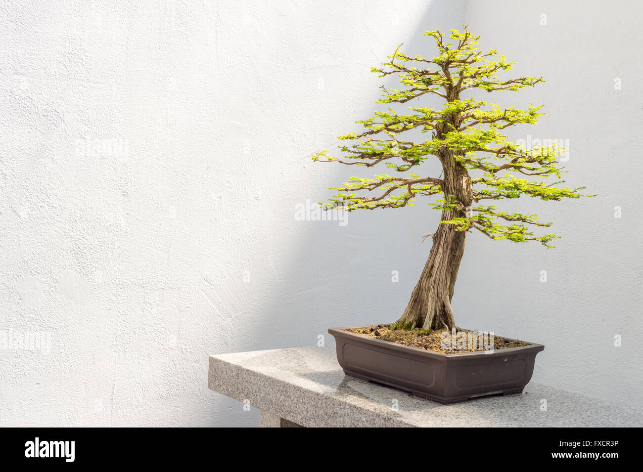 kahle zypresse bonsai taxodium distichum stockfoto bild 102314458 alamy. Black Bedroom Furniture Sets. Home Design Ideas