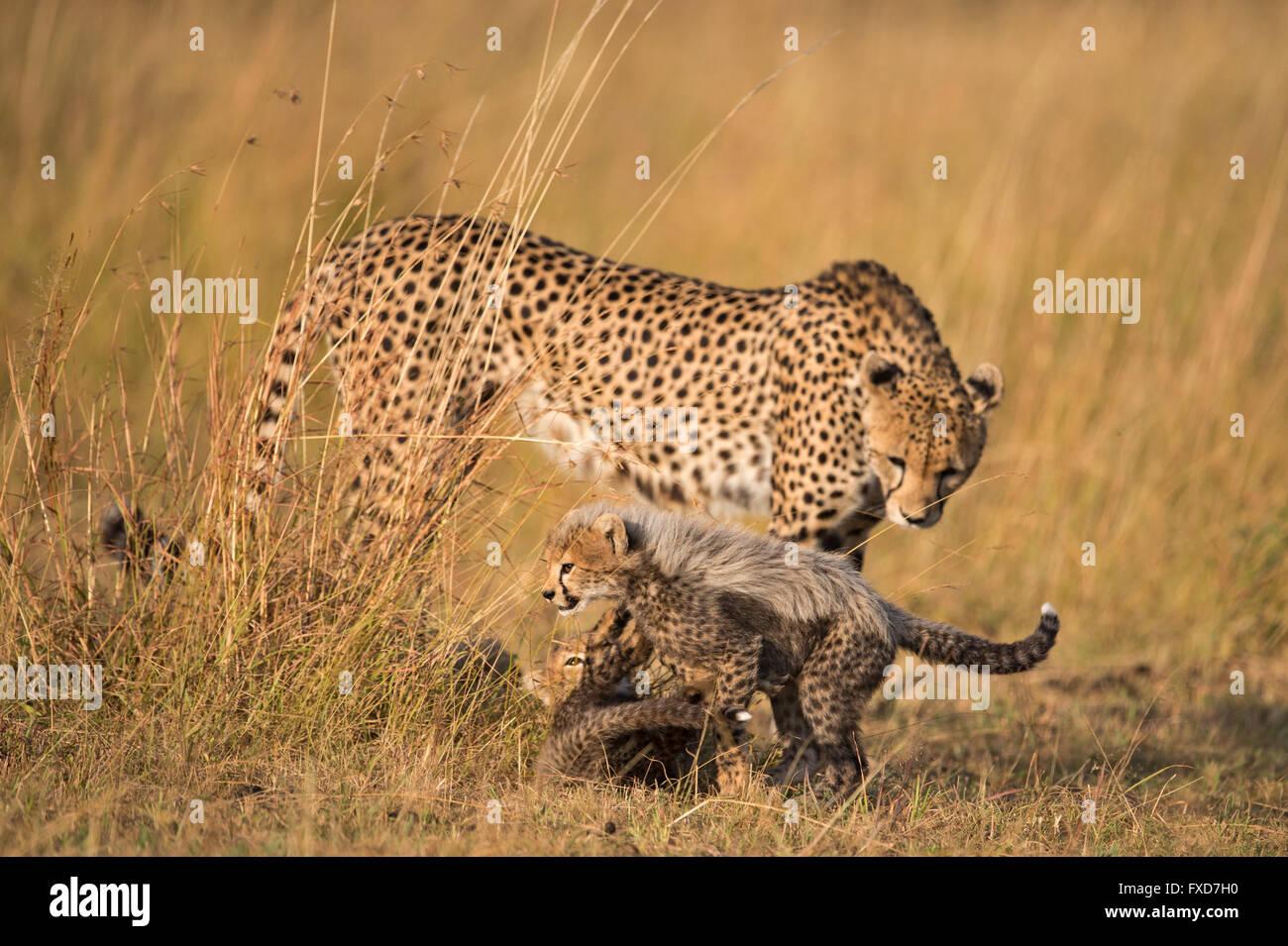 Geparden Mutter und jungen (Acinonyx Jubatus) zu Fuß in eine Wiese in Masai Mara, Kenia Stockbild