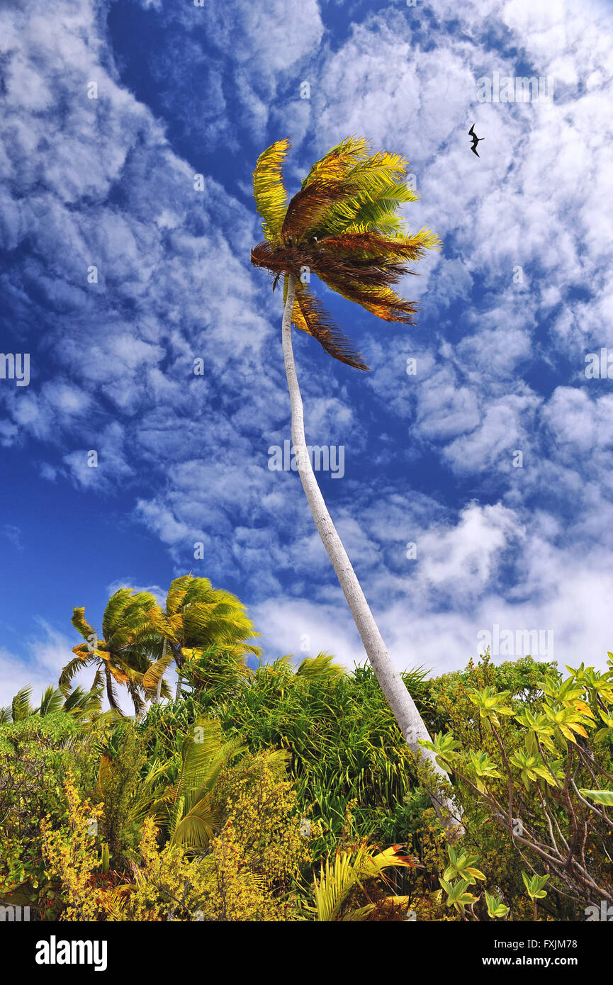 Tikehau, Atoll des Tuamotu-Inseln, Polynesien. Eine grüne Palme im Wind auf einem blauen Himmel mit Wolken fast künstlerische. Stockfoto