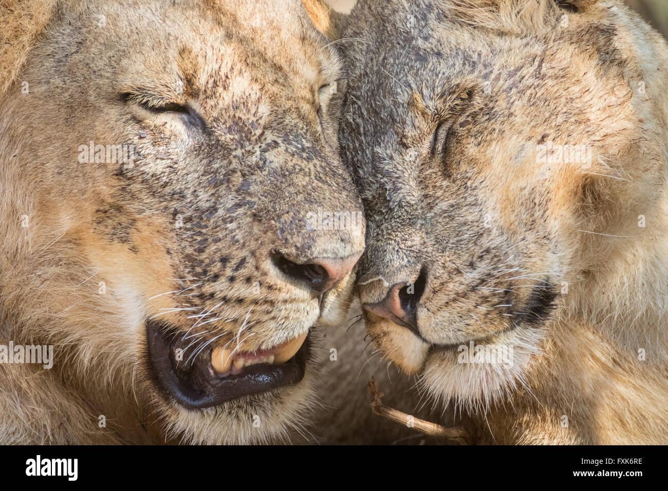 Löwen (Panthera Leo), Porträt, Anzeigen von Zuneigung, South Luangwa Nationalpark, Sambia Stockbild