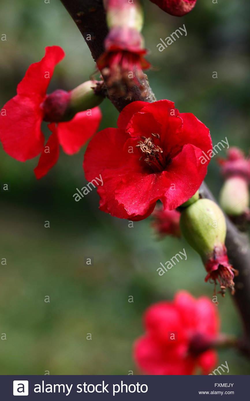 Nakai Blumen Chaenomeles Speciosa Baumes, Makro Stockbild