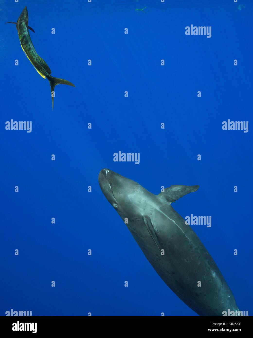 Pseudorca oder falscher Killerwal, Pseudorca Crassidens, verfolgt erschrocken Dorado, Mahi-Mahi, Mahimahi, Mahi Stockbild