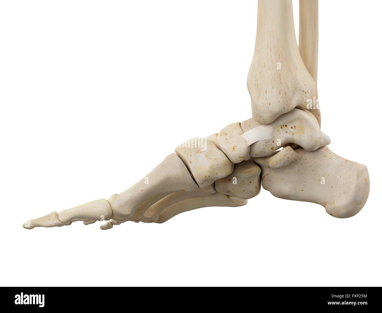Niedlich Anatomie Des Beines Und Des Fußes Bilder - Anatomie Ideen ...