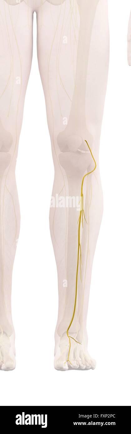 Menschliches Bein Nerven, Computer Bild Stockfoto, Bild: 102518036 ...
