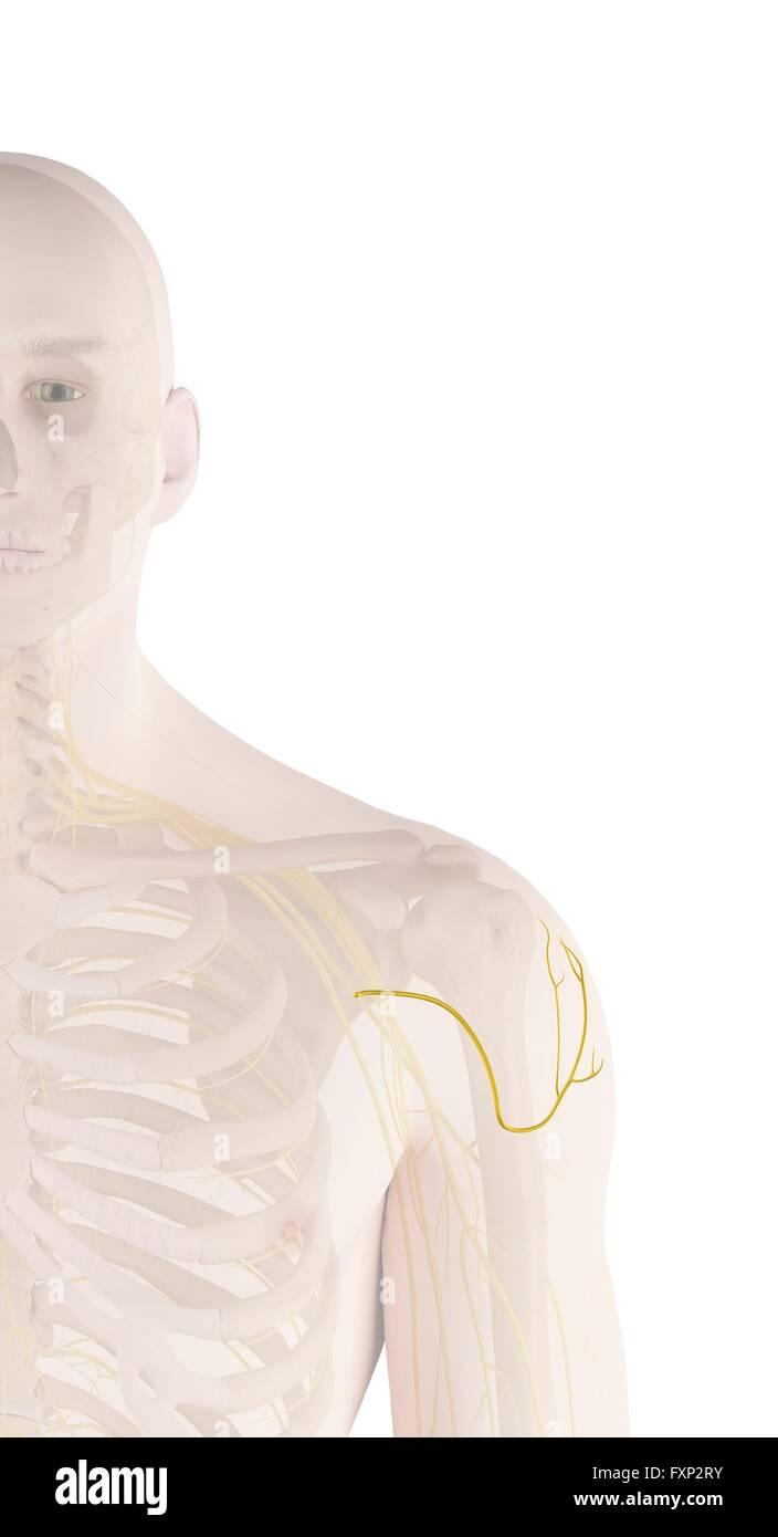 Menschlichen Schulter Nerven, Computer Bild Stockfoto, Bild ...