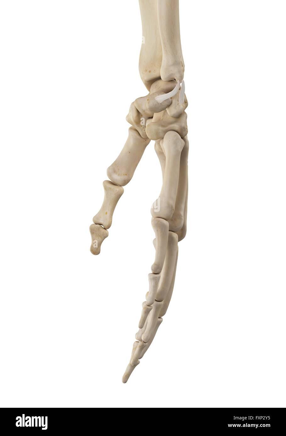 Menschliche Hand Anatomie, Computer Bild Stockfoto, Bild: 102518169 ...