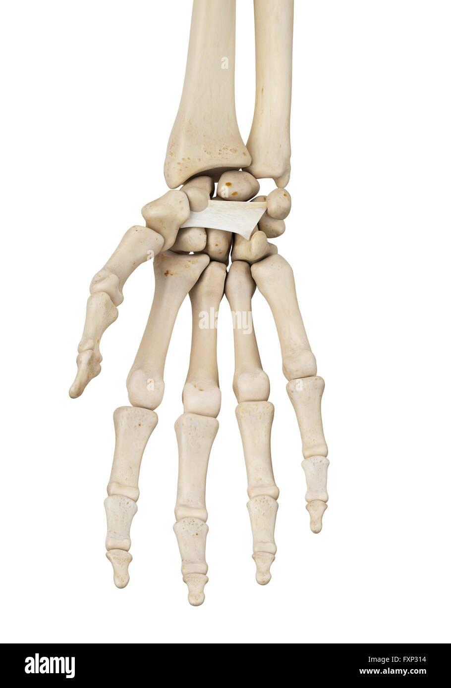 Ungewöhnlich Anatomie Der Linken Hand Galerie - Anatomie Ideen ...