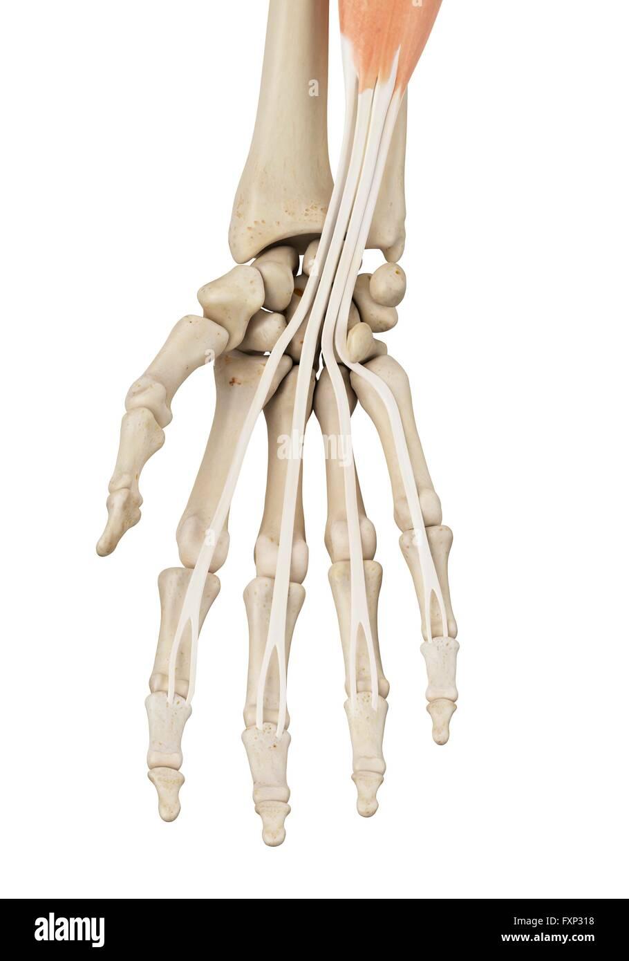 Menschliche Hand Anatomie, Computer Bild Stockfoto, Bild: 102518228 ...