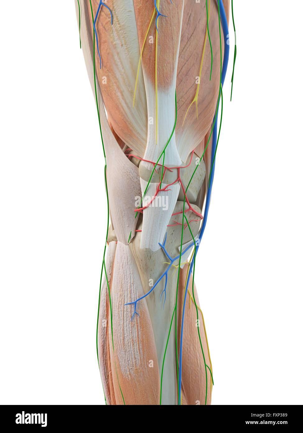 Wunderbar Menschliche Anatomie Des Beines Bilder - Menschliche ...