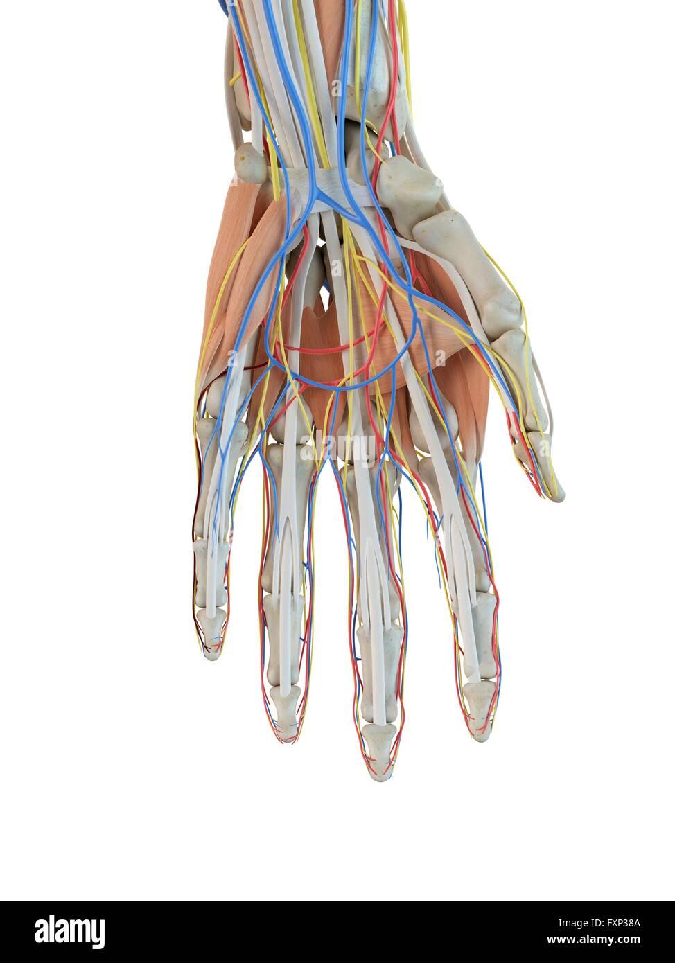 Atemberaubend Detaillierte Hand Anatomie Zeitgenössisch ...