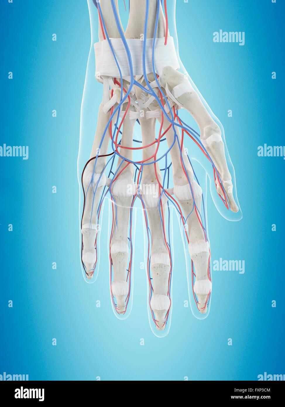 Menschliche Gefäßsystem der Hand, Computer Bild Stockfoto, Bild ...