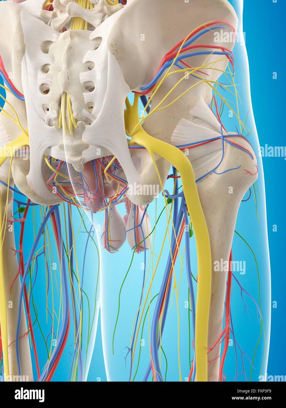 Ausgezeichnet Becken Bonebild Galerie - Menschliche Anatomie Bilder ...