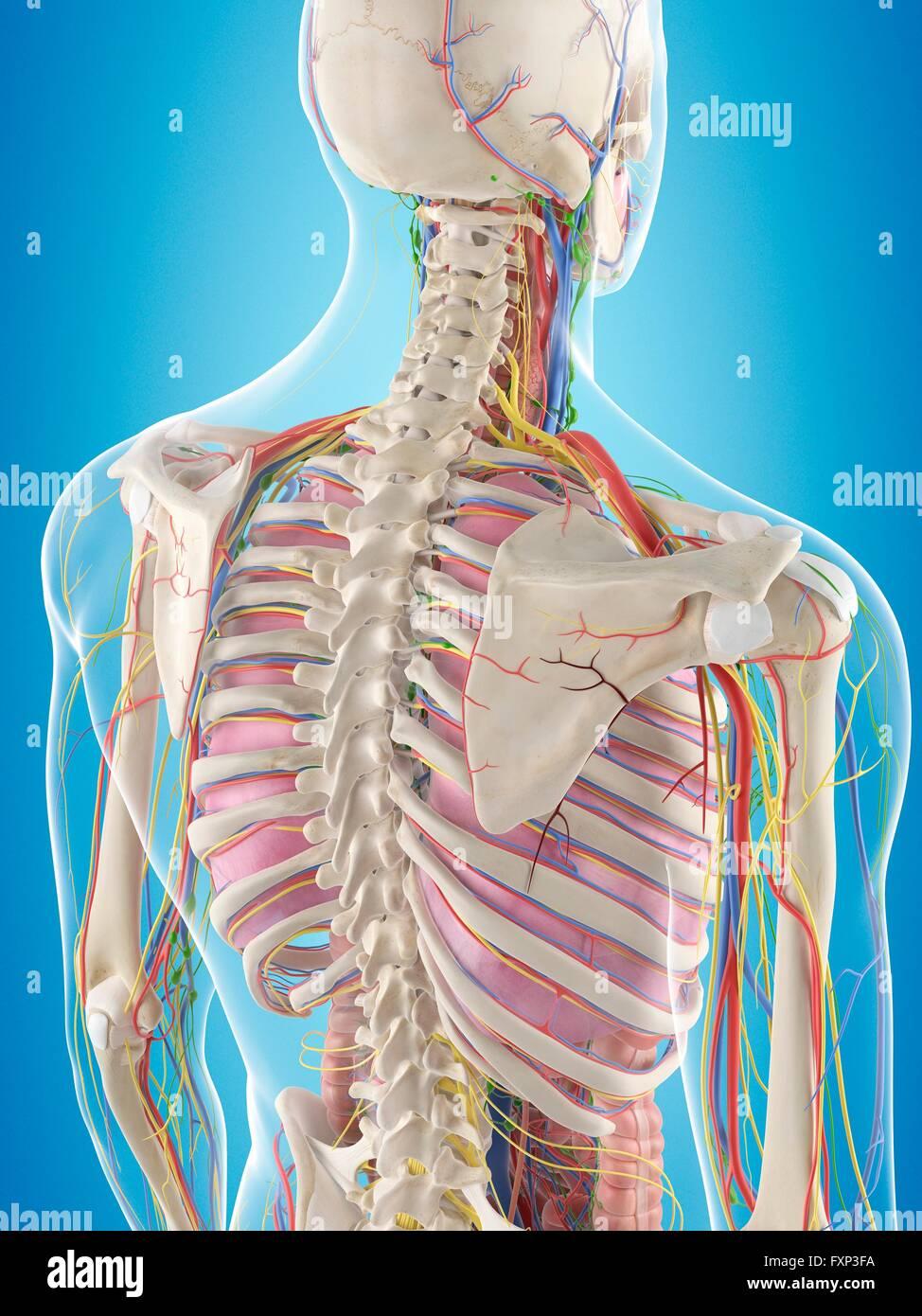 Wunderbar Anatomie Zurück Organe Zeitgenössisch - Menschliche ...