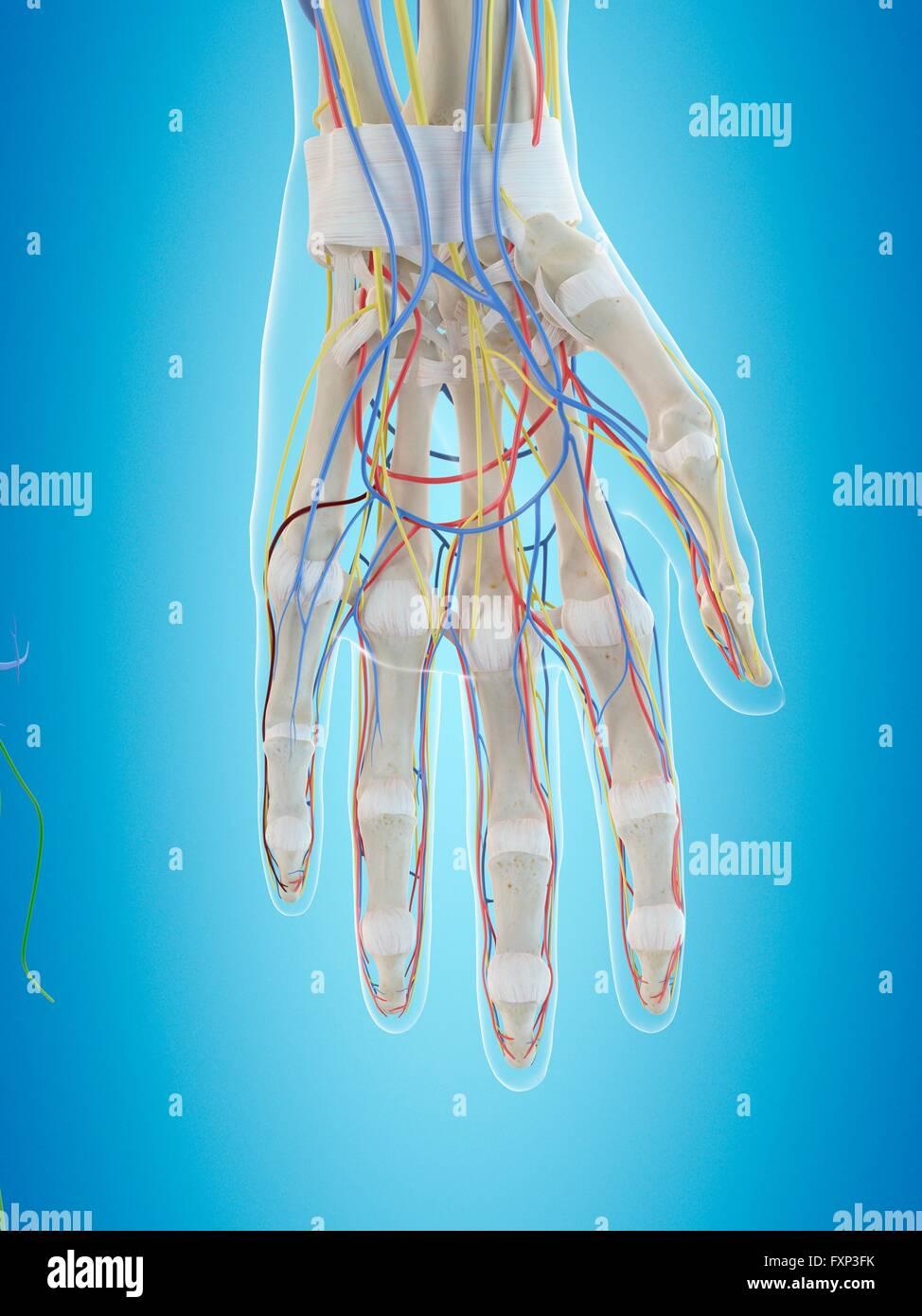 Menschliche Hand Anatomie, Computer Bild Stockfoto, Bild: 102518631 ...