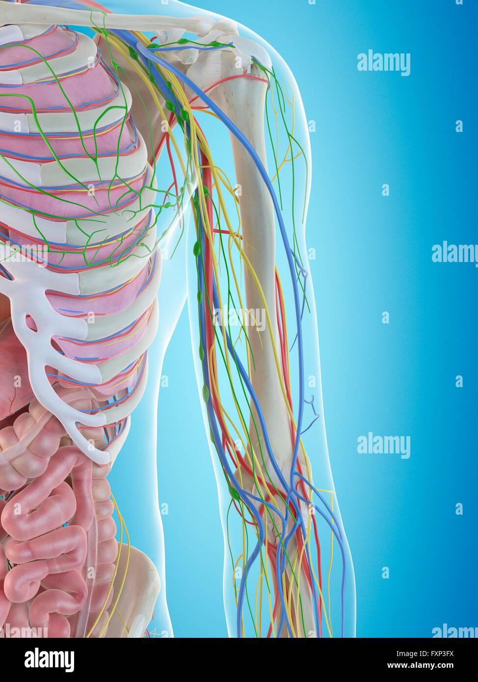 Menschlicher Arm Anatomie, Computer Bild Stockfoto, Bild: 102518638 ...