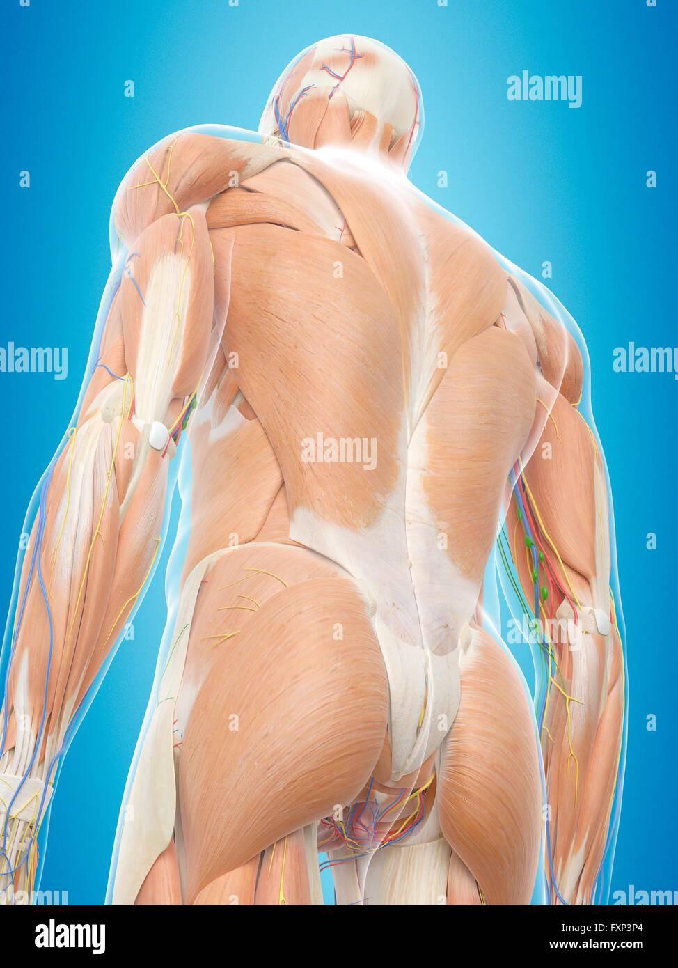Erfreut Zurück Muskeltabelle Anatomie Fotos - Anatomie Von ...