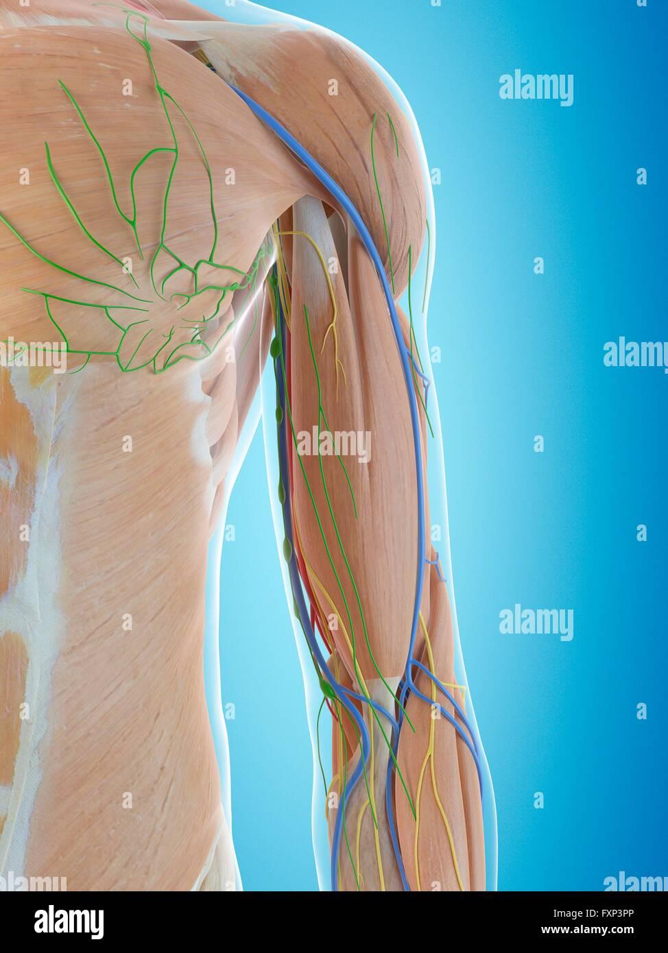 Arm Arteries Stockfotos & Arm Arteries Bilder - Alamy