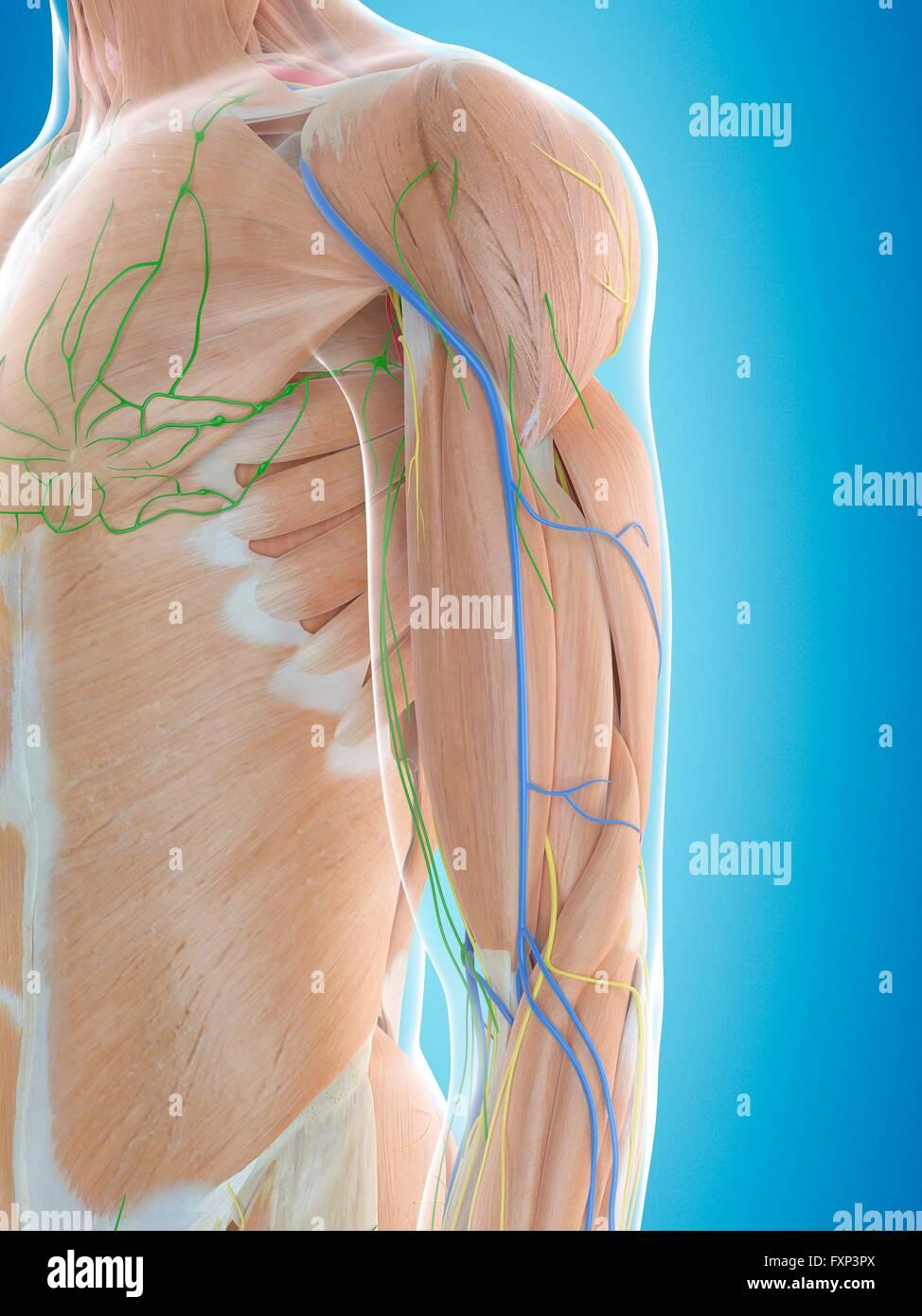 Tolle Schulter Komplexe Anatomie Fotos - Menschliche Anatomie Bilder ...