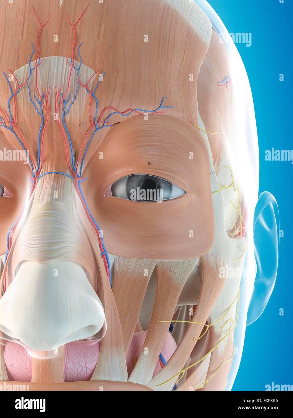 Menschliches Gesicht Anatomie, Computer Bild Stockfoto, Bild ...