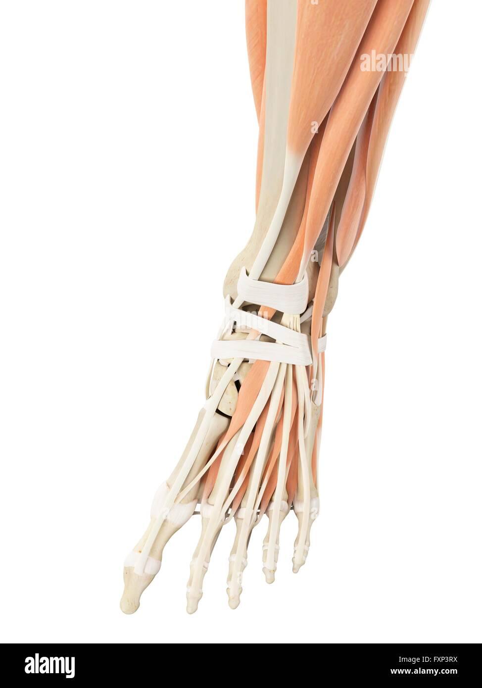 Atemberaubend Anatomie Des Beines Und Des Fußes Ideen - Menschliche ...