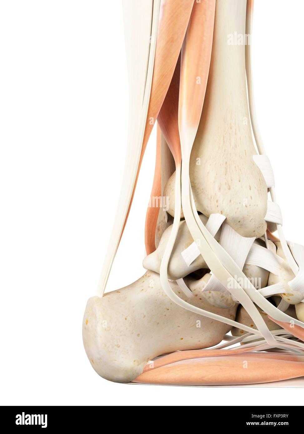 Human Heel Anatomy Stockfotos & Human Heel Anatomy Bilder - Alamy