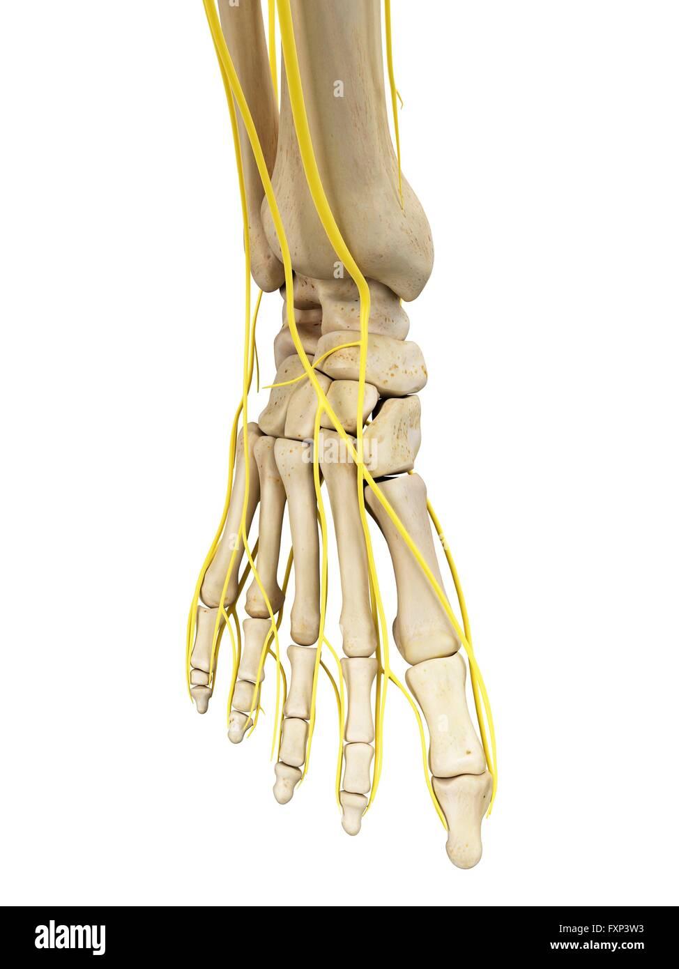 Fantastisch Hand Nerven Anatomie Zeitgenössisch - Anatomie Ideen ...