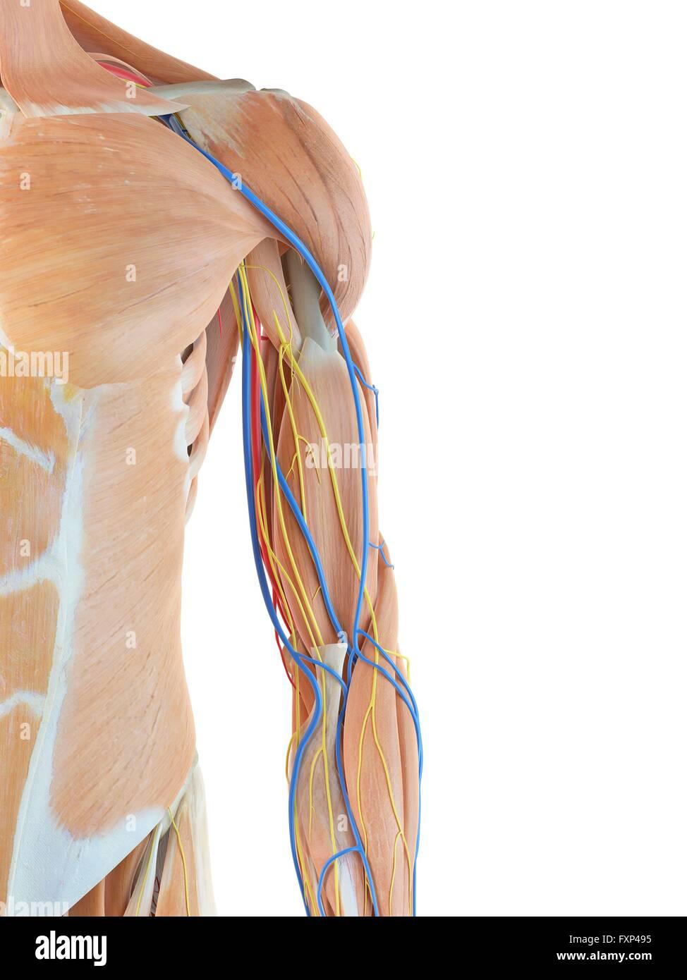 Menschlicher Arm Anatomie, Computer Bild Stockfoto, Bild: 102519233 ...