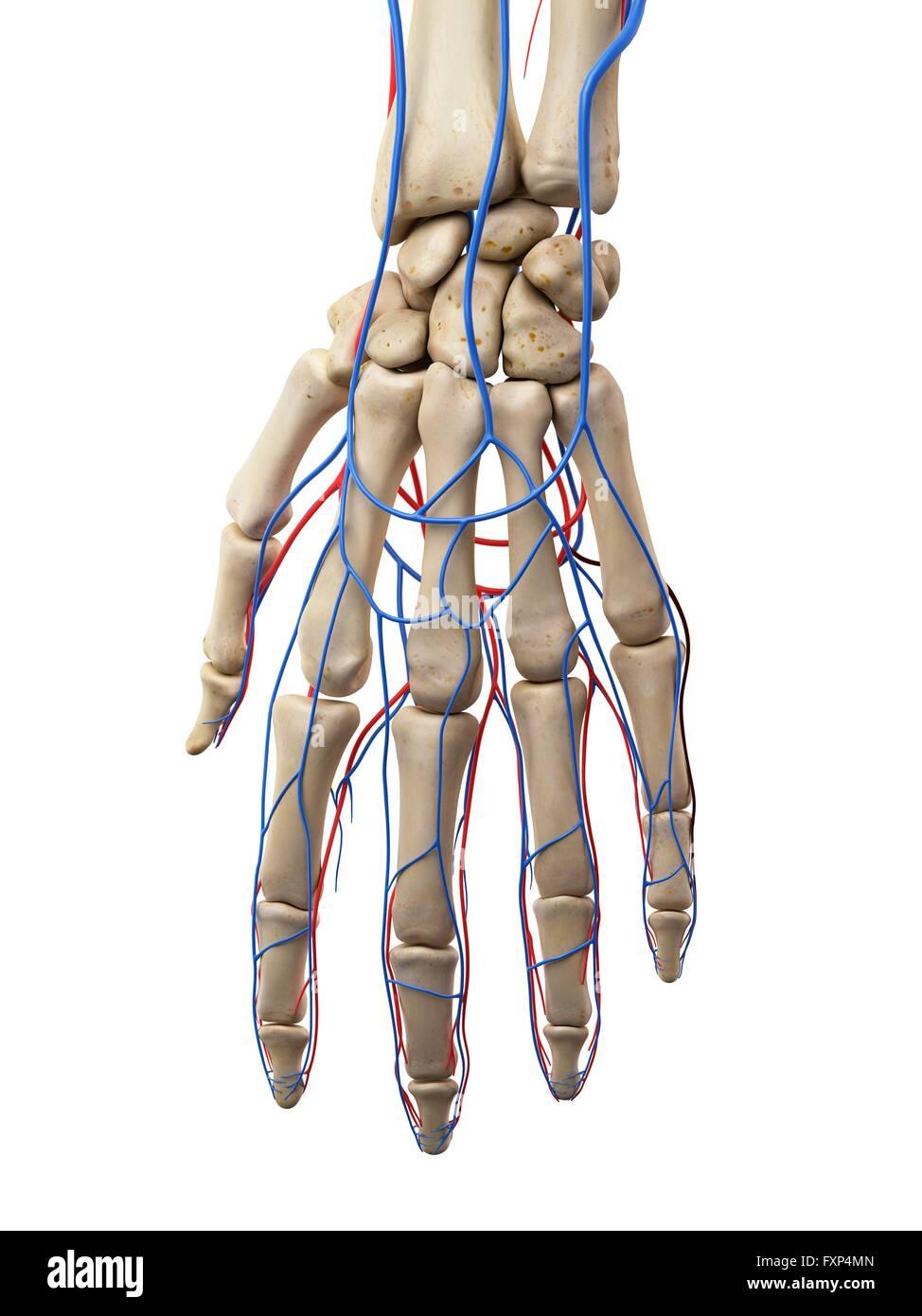Menschliche Hand Venen und Arterien, Computer Bild Stockfoto, Bild ...