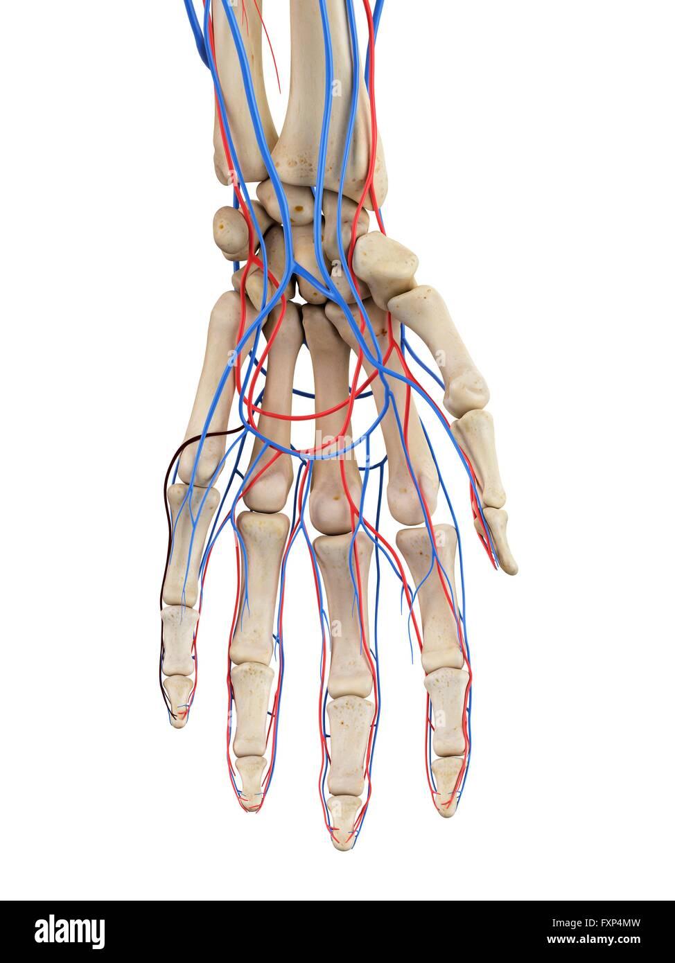 Tolle Hand Arterielle Anatomie Fotos - Menschliche Anatomie Bilder ...