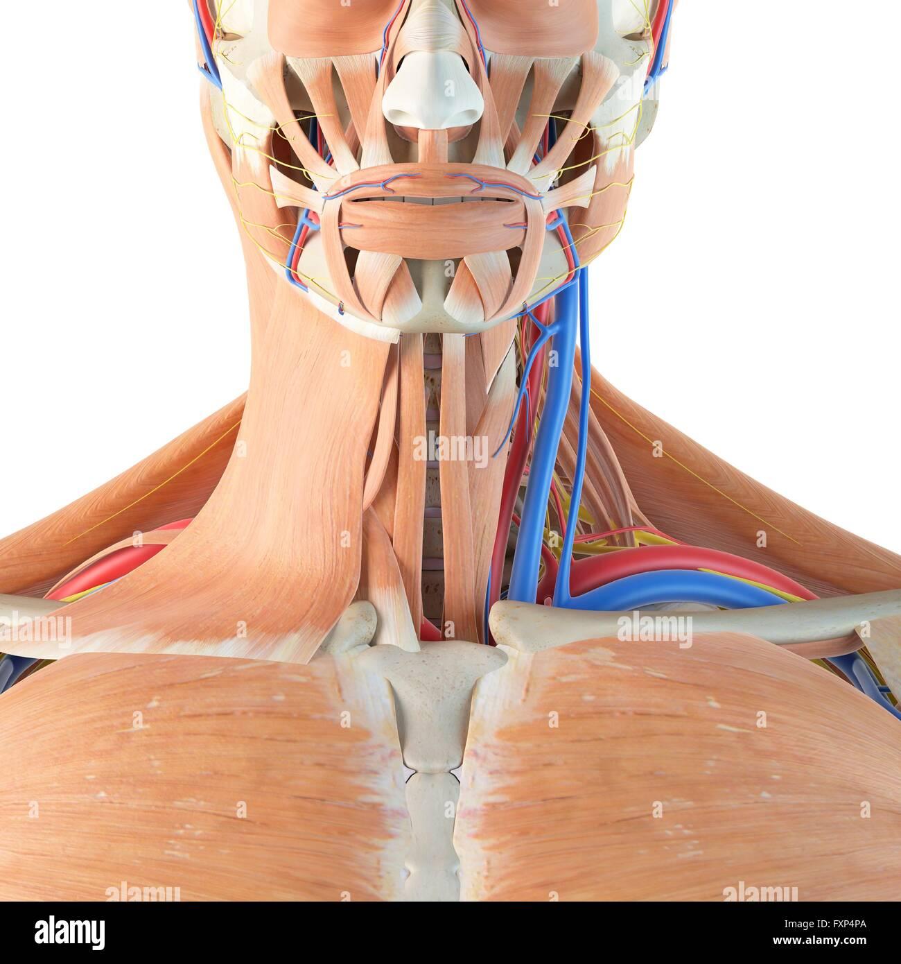 Menschliche Anatomie des Halses, Computer Bild Stockfoto, Bild ...
