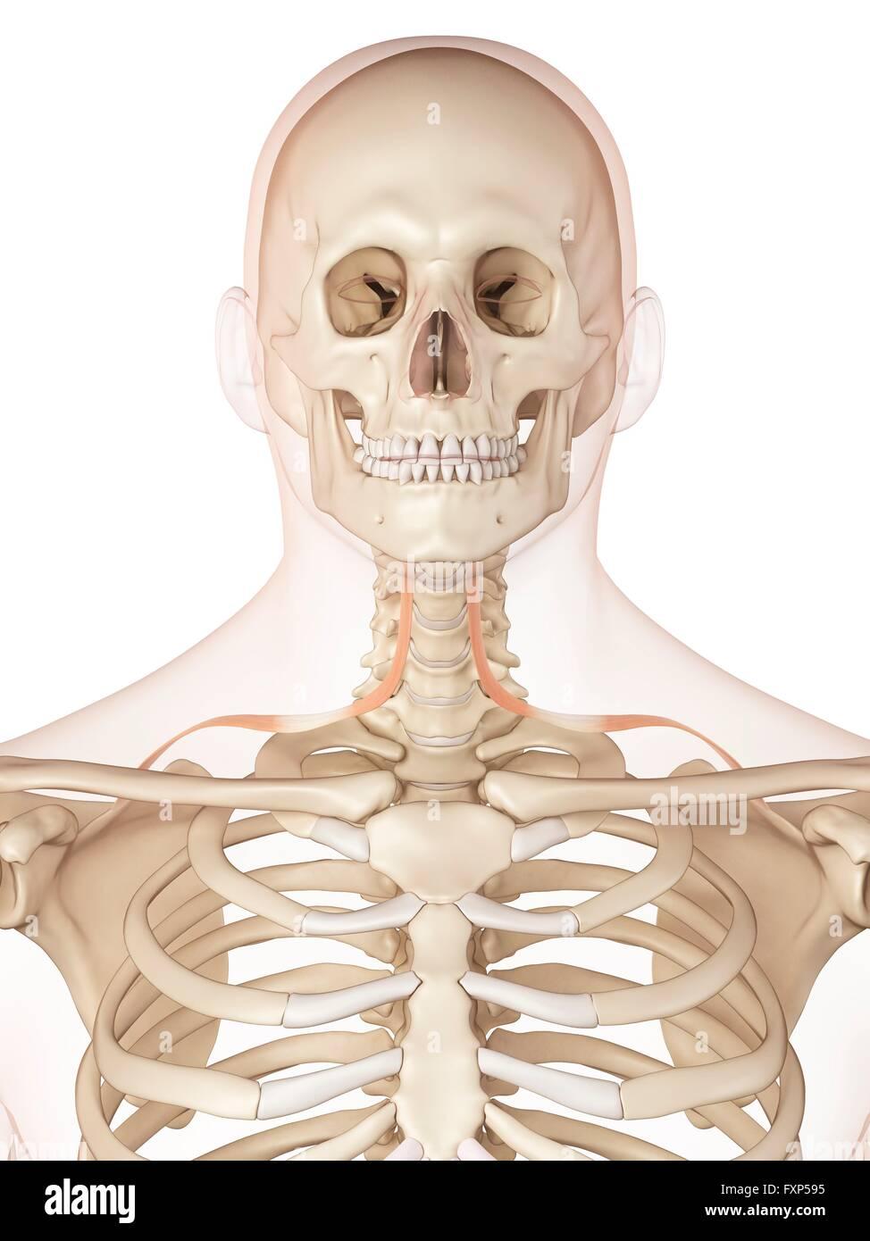 Gemütlich Nackenmuskulatur Bilder Galerie - Menschliche Anatomie ...