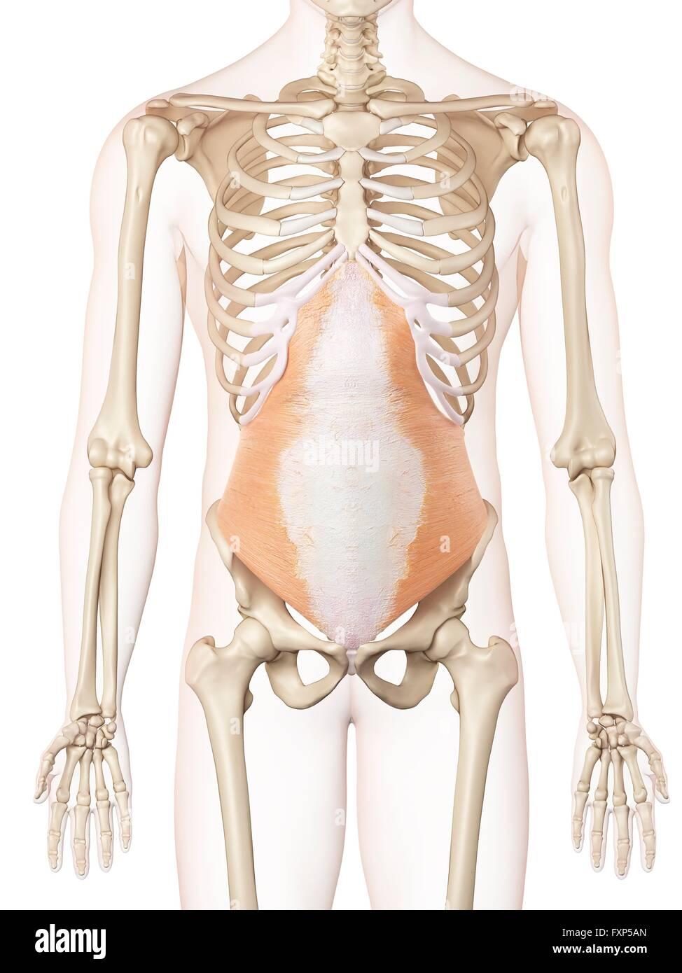 Menschlichen Bauchmuskeln, Computer Bild Stockfoto, Bild: 102520061 ...